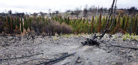 La barrera de cipreses que sobrevivió al incendio de Andilla.