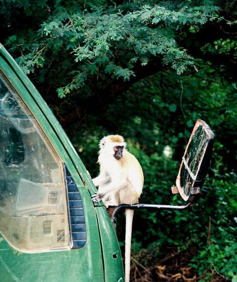 O maimuta narcisista