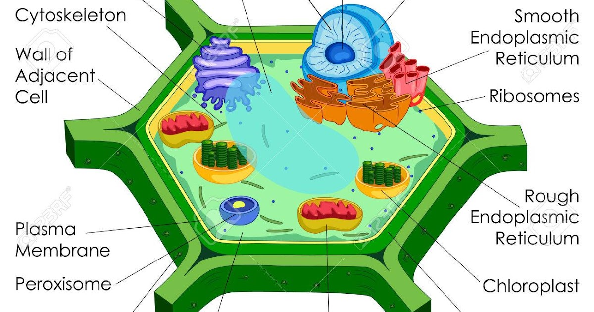 Labelled Diagram Of A Plant Cell Under A Microscope ...
