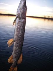 pike fishing colorado flyfishaddiction.com