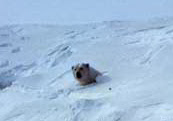 A female polar bear emerges from her maternity den