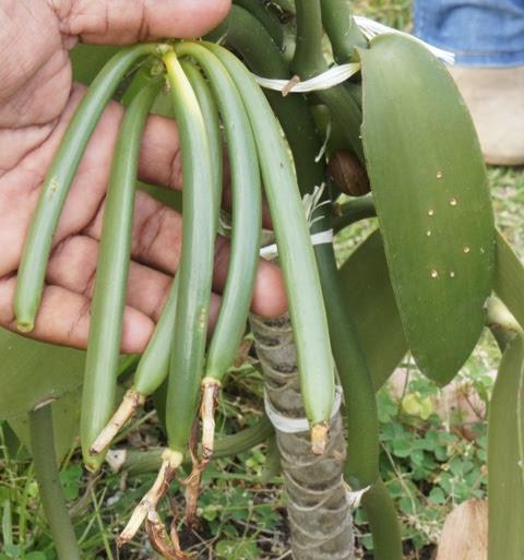 Coopérative Agricole de Vanille à Bras-Panon - 1 sujet et 1 recette