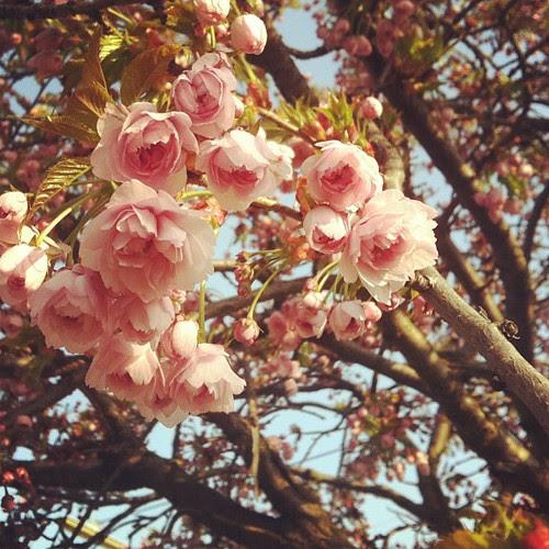 Sakura...finally!