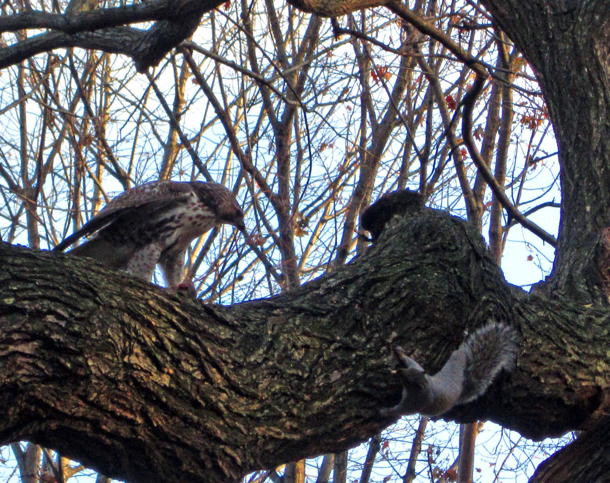 Hawk vs squirrel