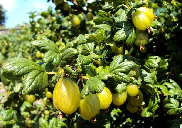 Gooseberries: Succulent gooseberries ripening in the sun