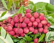 FOTO5_POMAR_lichia_dona-flor-nutrientes-para-plantas-500x340