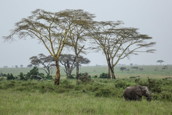 In this photo taken Saturday, Jan. 17, 2015, an African elephant walks in Serengeti National Park, west of Arusha, northern Tanzania. The park is the oldest and most popular national park in Tanzania and is known for its annual migration of millions of wildebeests, zebras and gazelles.