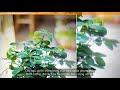 Tìm hiểu về cây ngũ gia bì trong phong thủy