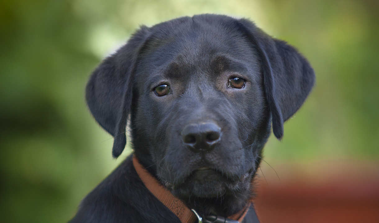 ENGLISH Black Lab Puppies for sale in California USA