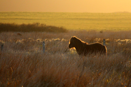 Shetland pony sunset, in Orkney. by Craig Taylor - Orkney