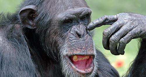 chimpanzee picking nose