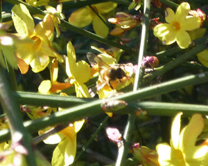 bees on wilty forsythia