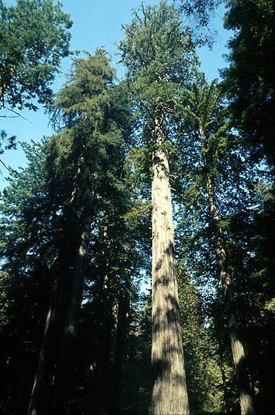 http://upload.wikimedia.org/wikipedia/commons/5/53/Coastal_redwood.jpg