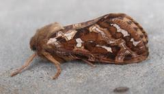 Map-winged Swift moth