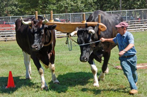 2black-oxen-&-handler-to-the-finish.jpg
