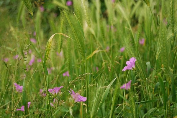 Pink Flowers in Grass