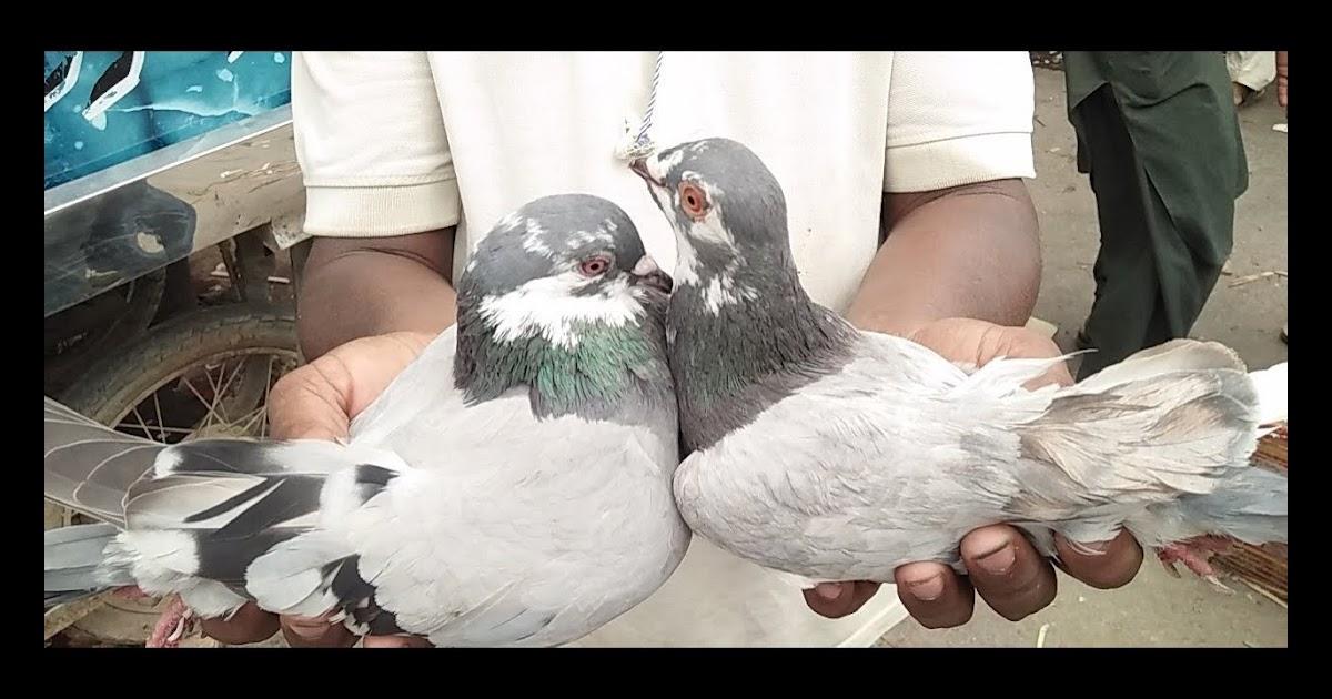 Money Is A Spirit Pigeon Kabootar Gola Kabootar Qabli Kabootar Market Visit In Urdu Hindi Ova stranica koristi kolačiće (eng. pigeon kabootar gola kabootar qabli