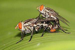 English: Sarcophaga (Liopygia) ruficornis fles...