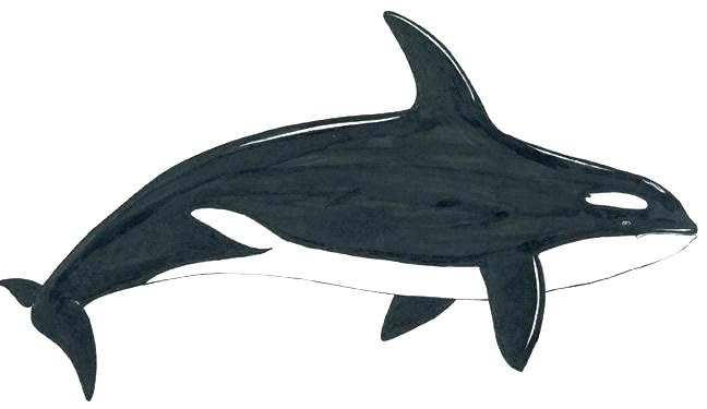 Shark Colouring Pages To Print at GetDrawings   Free download