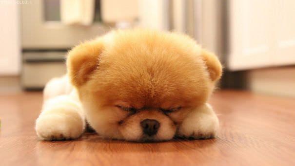 Cães peluidos e fofos