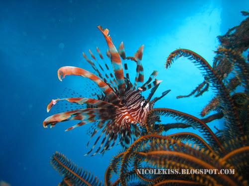 nice shot of lion fish