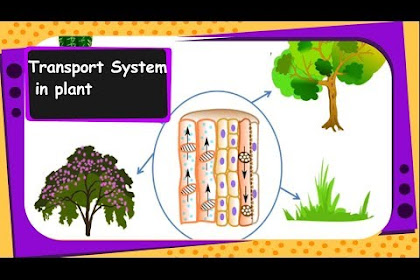 Plant Xylem And Phloem Diagram