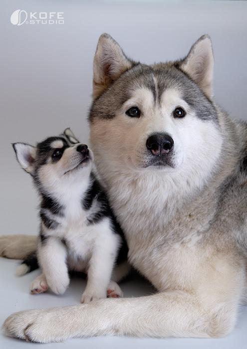 Собака и щенок породы сибирский хаски. Фото