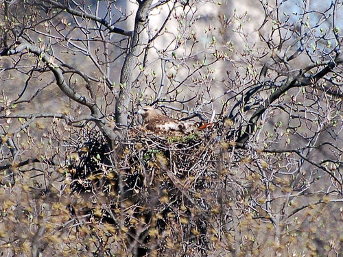 Red-Tailed Hawk in Inwood Hill Park Nest