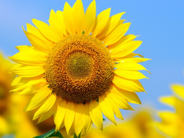 7 to move your partner with sunflower meaning | Spiritualism