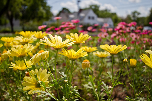 yellow daisies, a sign of summer