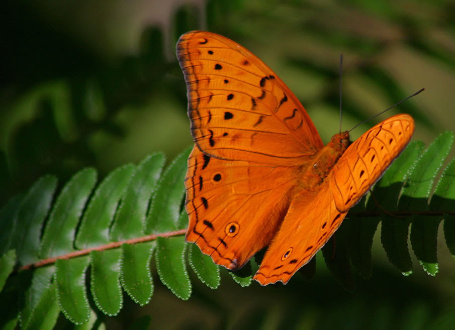 Butterflies of Kuranda