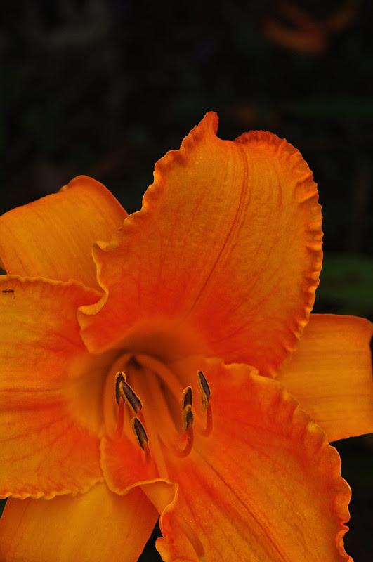 Hemerocallis 'House of Orange'