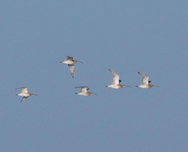 DSC_4310 Curlew in flight