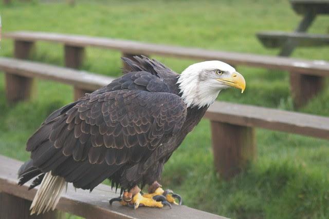 DSC_5395 Bald Eagle