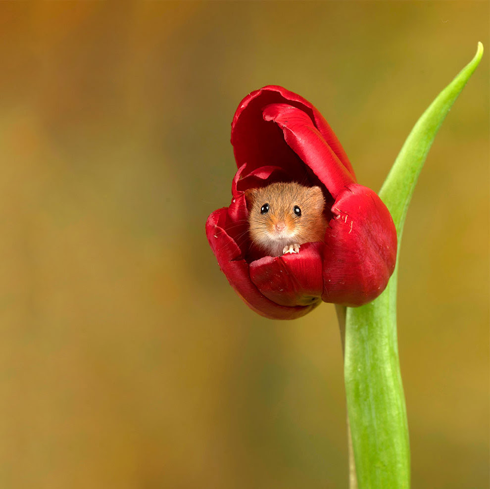 Миші в тюльпанах