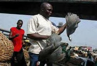 Nigeria reported the first  human death from bird flu in West Africa on Wednesday, January 31, 2007. In the UK 160,000 turkeys have been ordered culled after 2,500 turkeys were reported infected with the H5N1 virus in  this European country. by Pan-African News Wire File Photos
