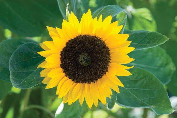 Sunflower - Autumn Beauty Mix - Seattle Seed Company