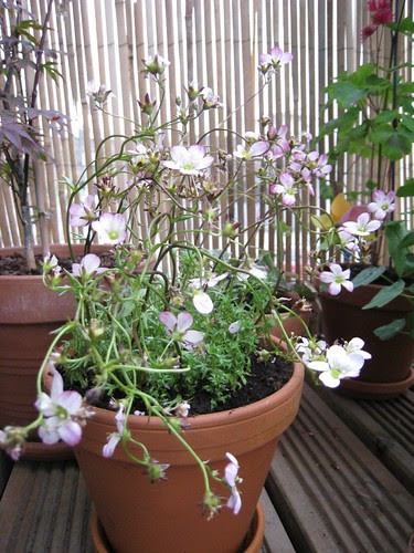 Saxifrage Four Winds