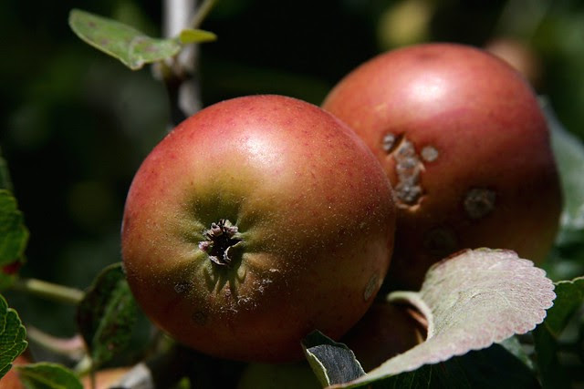 Apples, Howell Territorial Park