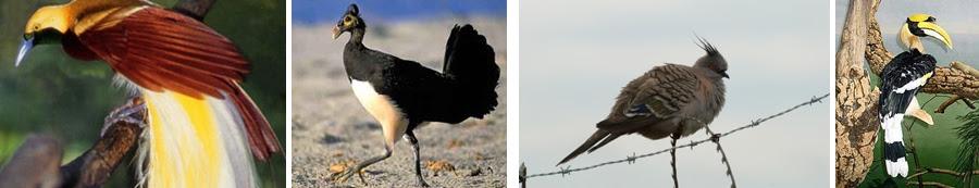 Burung Cendrawasih (burung dewata) - Maleo - Mandar - Rangkong