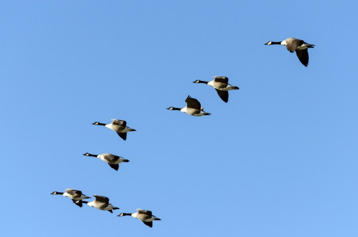 v-shape-flying-geese