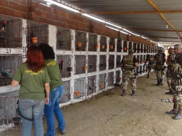 Rinha com 145 galos foi desativa em Toritama, no Agreste (Foto: Divulgação/Assessoria)