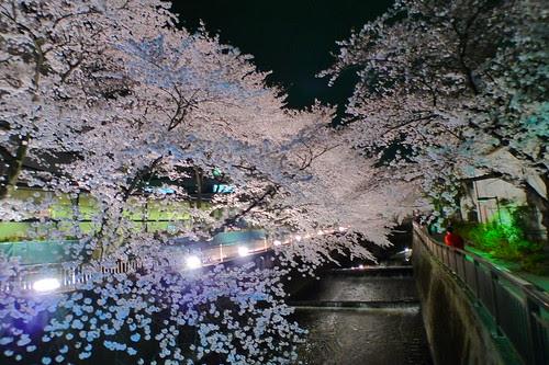 Cherry blossoms over the river outside Toho Studios