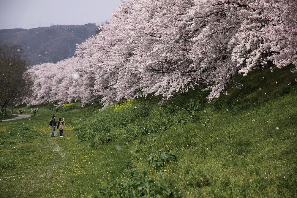 四月最美的櫻吹雪