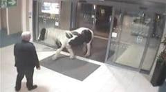 Vizita neasteptata: Un cal a intrat intr-o sectie de politie (Video)