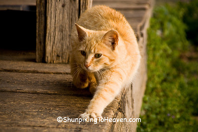 Orange Tiger Cat at Penn's Store, Casey County, Kentucky (at the Boyle County Line)