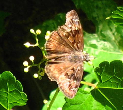 misc blg moth IMG_1780