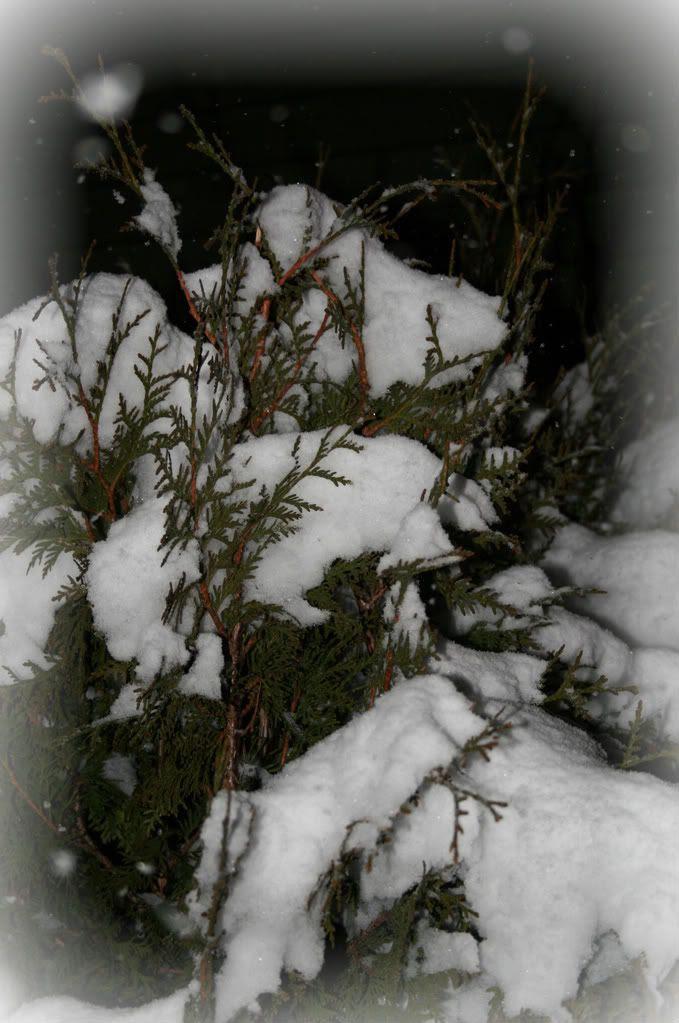Flere busker hos en annen nabo, hi-hi