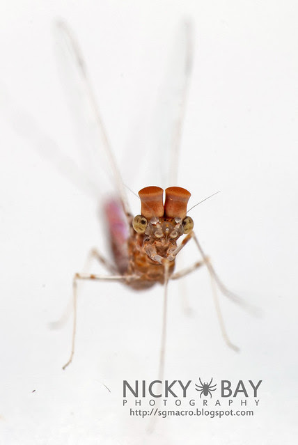 Mayfly (Ephemeroptera) - DSC_3880