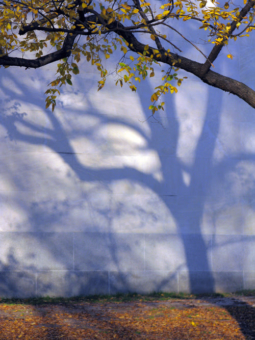 shadow of a tree makes a tree in Central Park, Manhattan, NYC